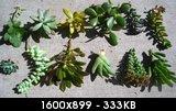 Домашний цветок суккулент фото