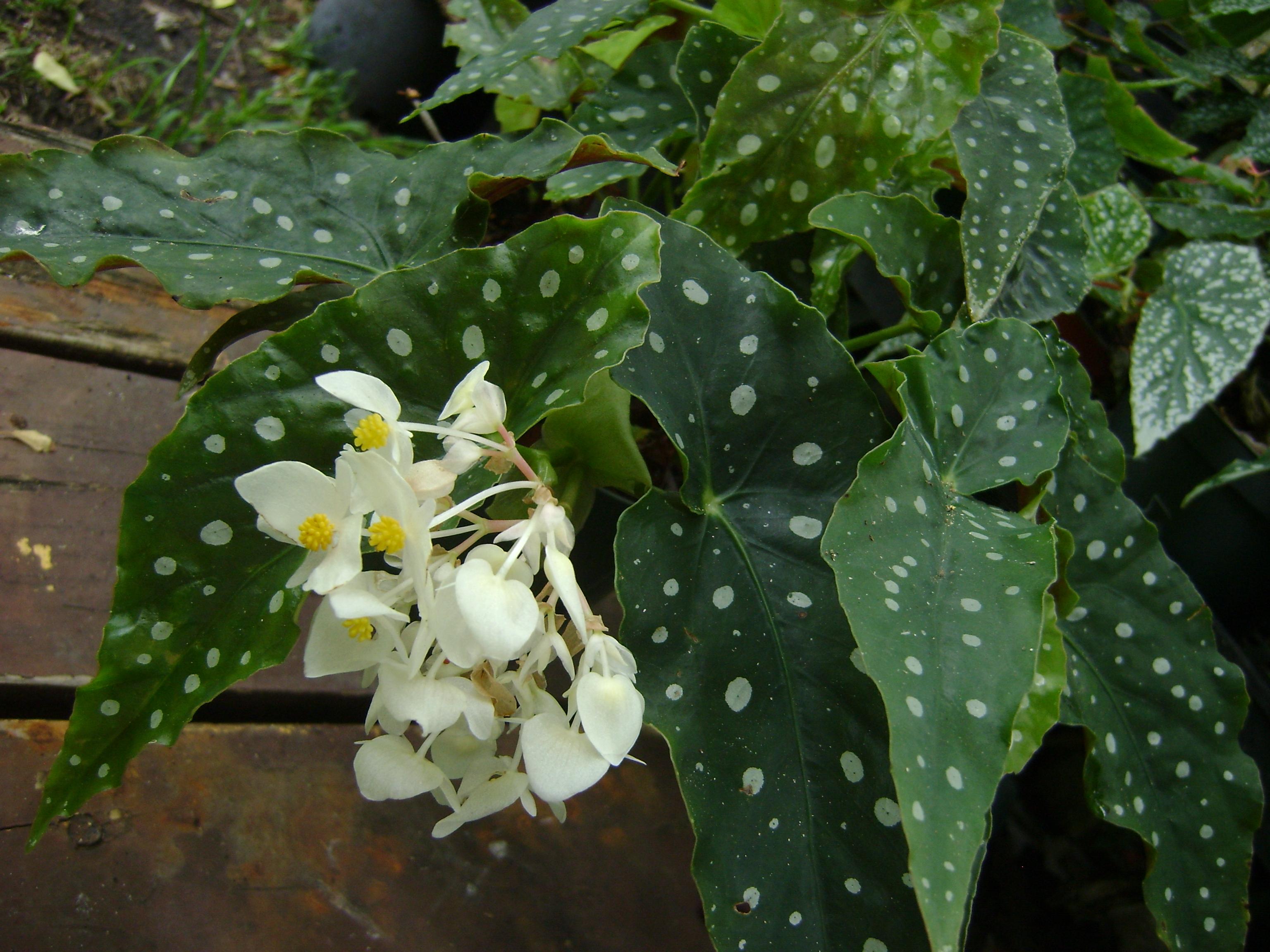 Цветы с белесыми листьями фото